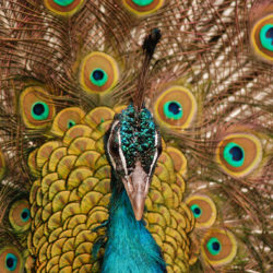 Image of proud peacock