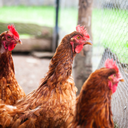 Hens cooped up behind a fence, by Dave Sandoval Unsplash