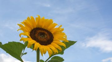 Image of a sunflower following the sun as metaphor for following a clear intention